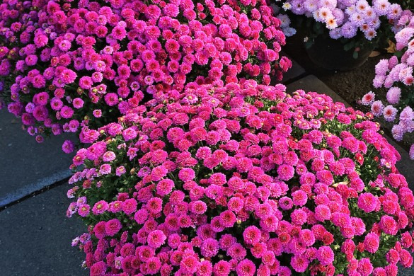 Purple chrysanthemums at the marketplace. Autumn flowers.