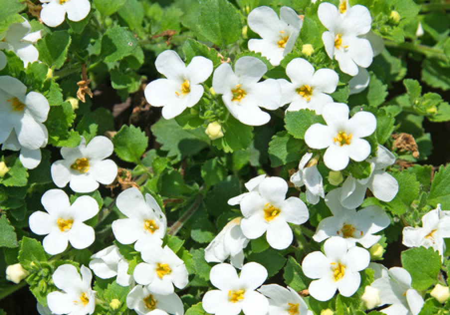 Bacopa aux fleurs blanches