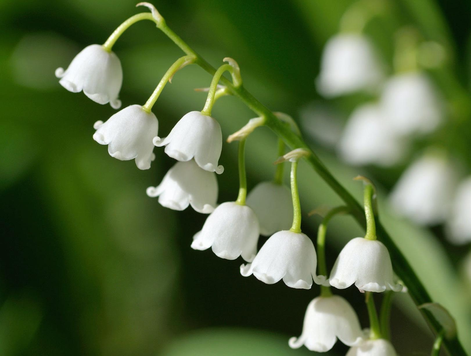 Muguet en fleur du 1er mai