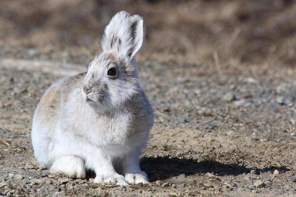 arctic-hare-1667676_960_720